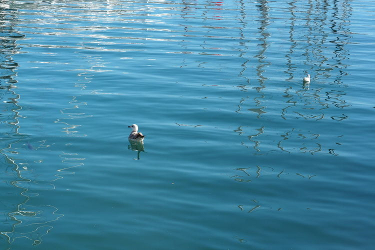 Animal Themes Water Animal Vertebrate Bird Animals In The Wild Animal Wildlife One Animal Lake No People Nature Day Waterfront Beauty In Nature Swimming High Angle View Reflection Outdoors Rippled