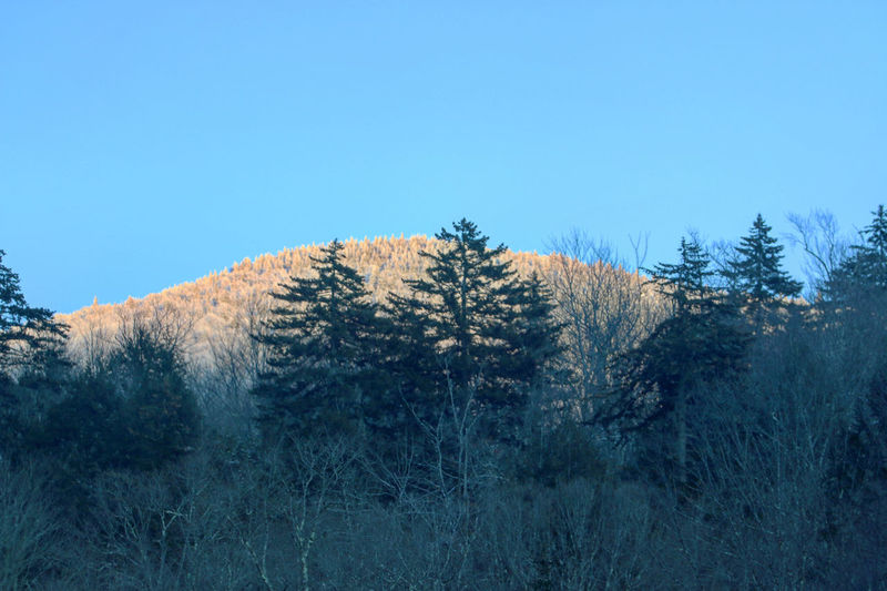 Pine trees on mountain against clear blue sky