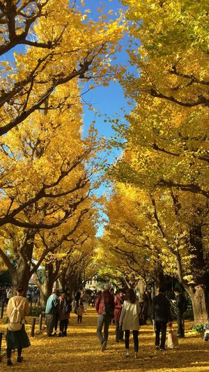 見事な黄色だなぁ。 Ginkgo Maidenhair Tree Ginkgo Tree Tree People Cityscape Trees Avenue Allee Silhouette Sunset Showcase: November Sunset Silhouettes Sunset_collection EyeEmBestPics EyeEm Best Shots Landscape From My Point Of View Nature Beauty In Nature Autmn Colors Autumn Fall Colors Fall Yellow