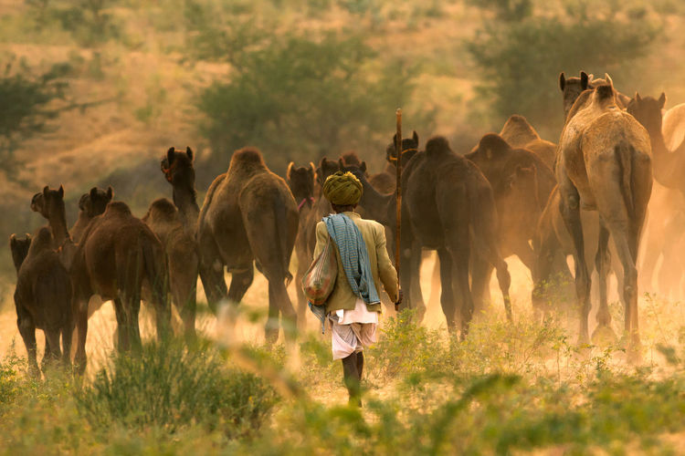 REAR VIEW OF MAN WALKING WITH CAMELS IN FIELD