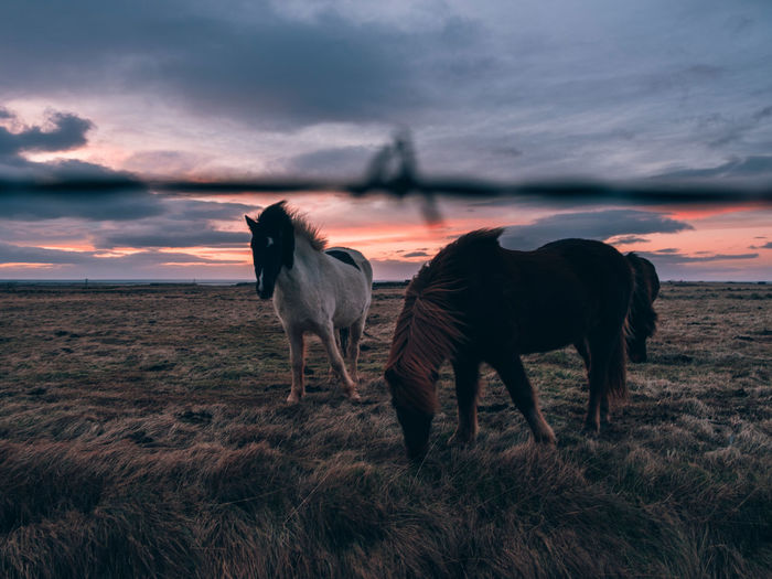 Iceland Icelandic Horse Mammal Cloud - Sky Animal Animal Themes Domestic Animals Sky Vertebrate Domestic Group Of Animals Horse Environment Grass Landscape No People Outdoors Land Sunset Field Nature