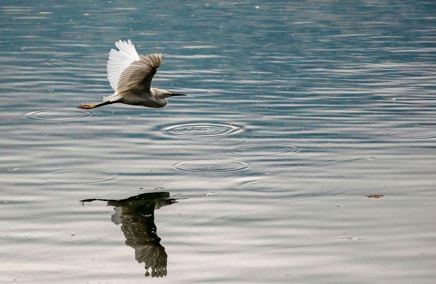 Reflections EyeEm Selects Bird Bird Of Prey Spread Wings Water Flying Lake Swimming Water Bird Beak Animal Themes Freshwater Bird Young Bird Ibis Bird Nest
