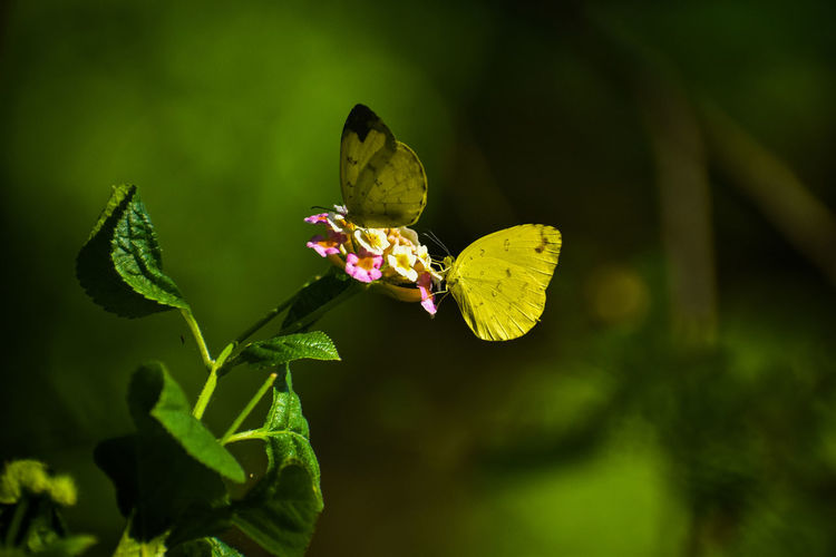 yellow butterfly Yellow Nature Wildlife Butterfly - Insect Insect Flower Leaf Close-up Green Color Plant
