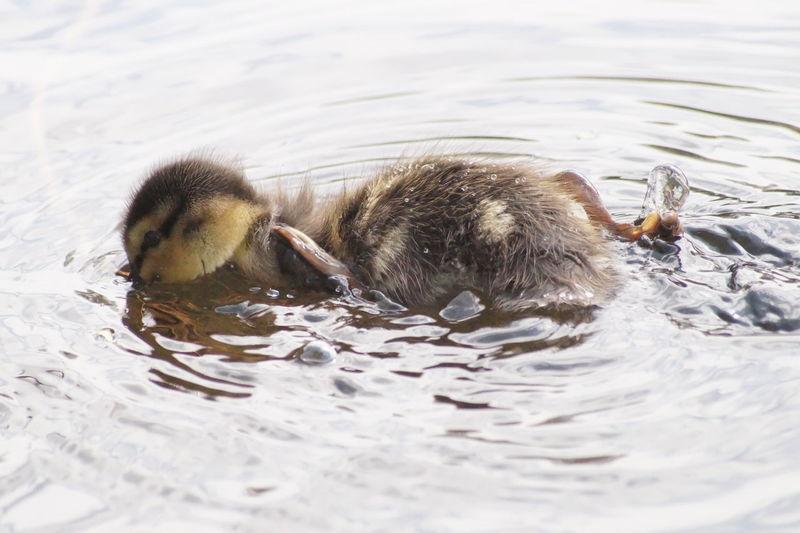 Duck Ducks In