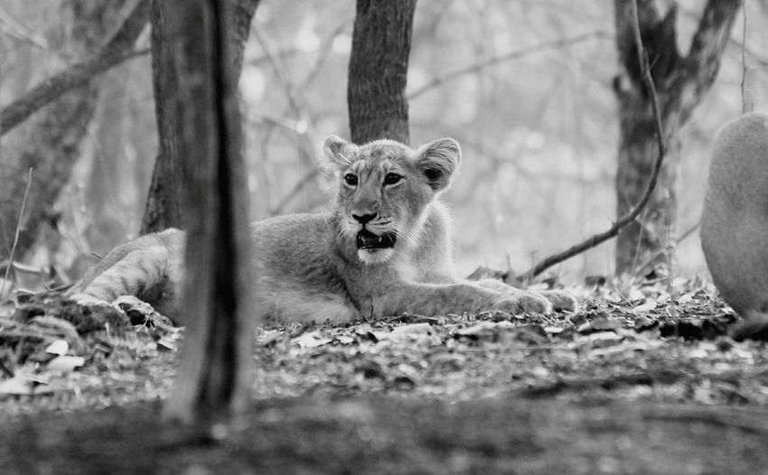 Lion cub First Eyeem Photo