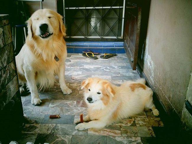 ลักษณะการกินบ่งบอกมาก ตัวนึงถือกินเรียบร้อย อีกตัวนี่....เอ่อ....ดูหน้าเอาคงไม่ต้องบรรยายไรมาก 😑😑😑 Look at funny face!!!! Dog Instadog Pet Pet13 Goldenretriever Brothers