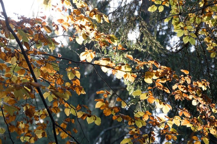Autumn Autumn Collection Beauty In Nature Branch Change Close-up Day Fall Forest Growth Leaf Leaves Low Angle View Maple Leaf Natural Condition Nature No People Orange Color Outdoors Plant Plant Part Sunlight Tranquility Tree