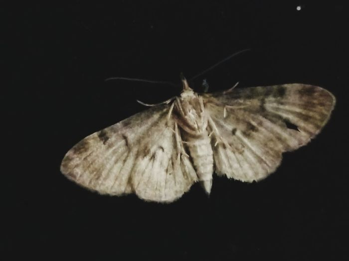 night moth