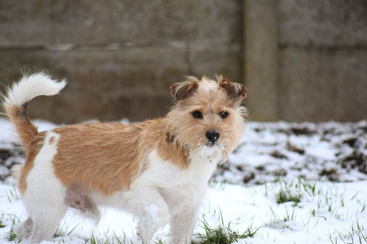 perfect pose Jackrussell It's A Dogs Life ❤ Snow ❄ Love Dogs Of Winter Jack Russell Dogs Dogs Of EyeEm Pets Snow Cold Temperature Winter Dog Portrait Cute Beauty Animal Hair Animal Themes Ear Nose Puppy Purebred Dog Lap Dog Teeth Paw
