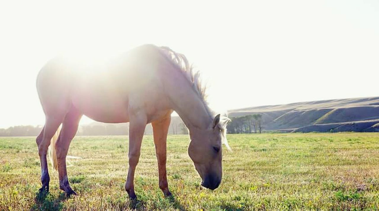 horse, animal themes, domestic animals, livestock, one animal, day, outdoors, no people, full length, grass, grazing, nature, standing, rural scene, beauty in nature, mammal, sky