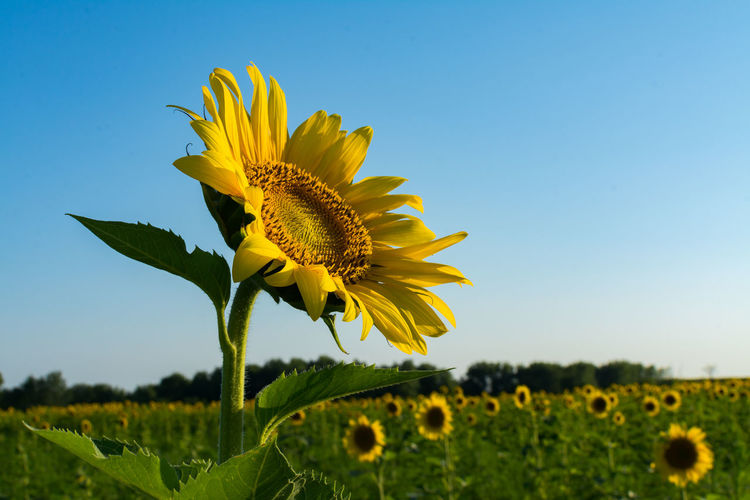 Close-up of sunflower blooming in field against clear sky
