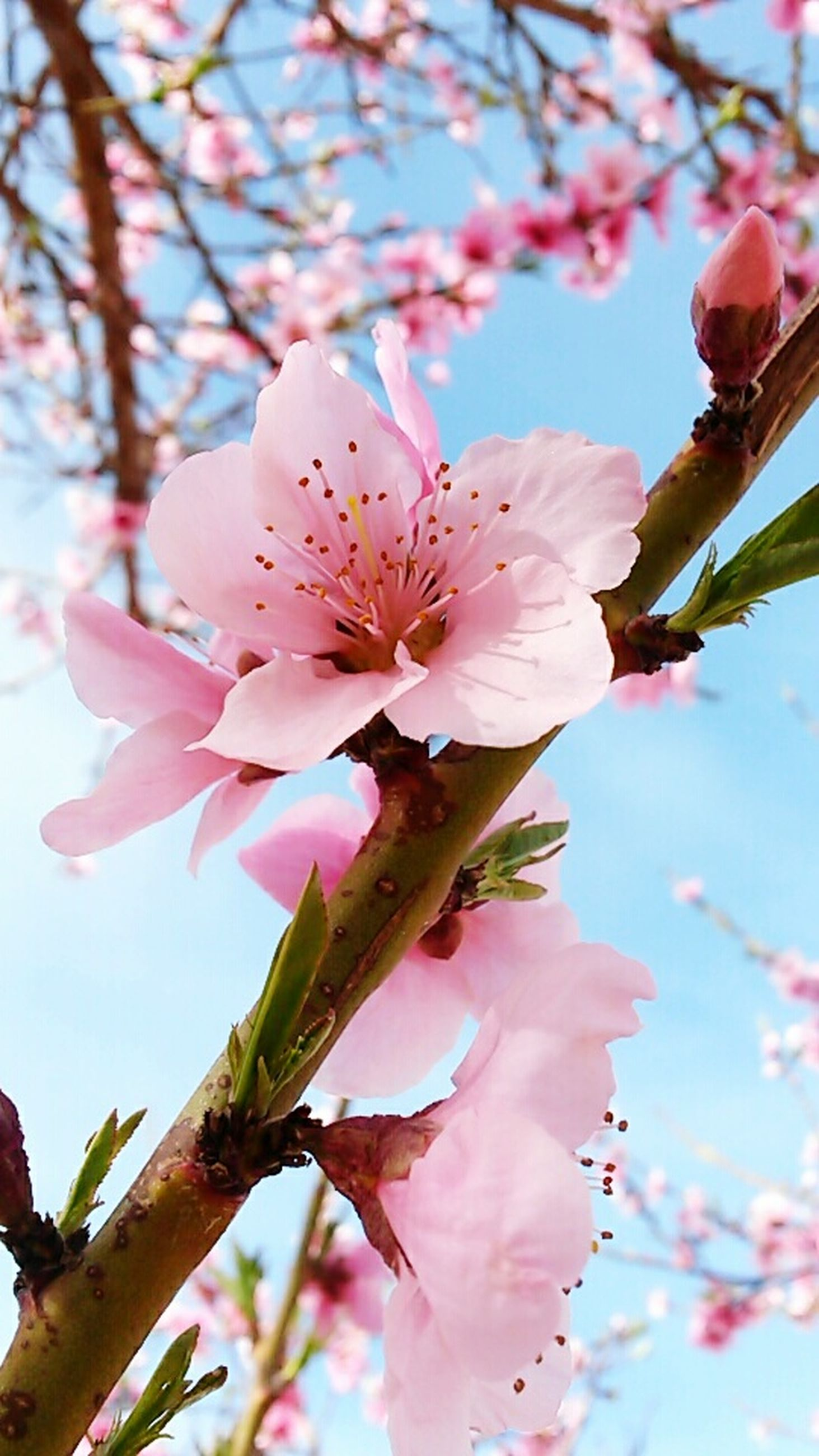 flower, freshness, low angle view, branch, growth, fragility, tree, beauty in nature, petal, pink color, blossom, nature, close-up, sky, focus on foreground, in bloom, cherry blossom, twig, flower head, springtime