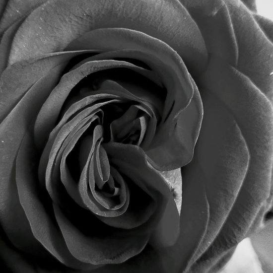Twin blossom rose Flower Petal Fragility Close-up Rosé Blossom Beauty In Nature Extraordinary  Shape And Texture Design Spirals Wrapping Nature Secret Life Black And White