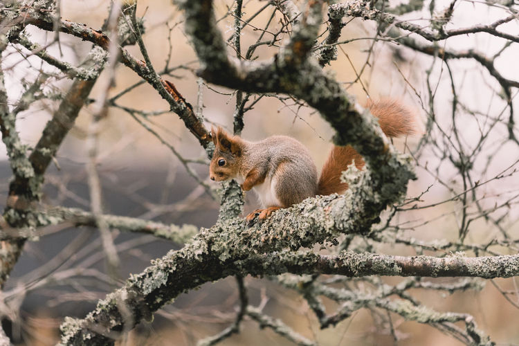 Animal Themes Animal Wildlife Animals In The Wild Bare Tree Branch Close-up Day Low Angle View Mammal Nature No People One Animal Outdoors Red Panda Sitting Squirrel Tree