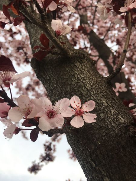 Springtime Low Angle View Cherry Blossom Tree Cherry Tree Cherry Blossom Outdoors Pink Flower 🌸 Light Pink Tree Cherry Flower No People Pink Pink Color Nature Photography Cherry Blossom Cherry Blossom Viewing Pink Flower Beauty In Nature Nature Branch Cherry Blossoms Cherry Flowers Flower Nature Beauty In Nature Millennial Pink The Great Outdoors - 2017 EyeEm Awards Perspectives On Nature