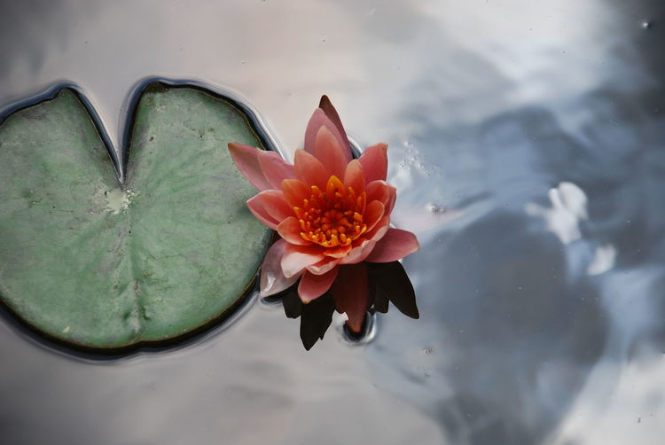 An amazing red flower in my garden Flower Plant Flowering Plant Petal Beauty In Nature Freshness Vulnerability  Fragility Water Close-up Nature Inflorescence Flower Head Day Growth Leaf Plant Part High Angle View Outdoors Pollen Floating On Water