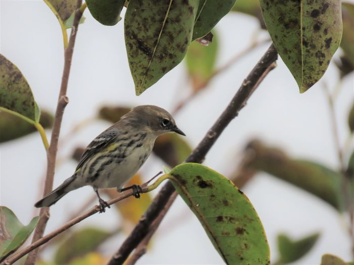 Bird perched on a bare branch warbler tree leaves Birds of EyeEm birdwatching beauty in nature Animal Wildlife Animal Themes Bird Tree No People