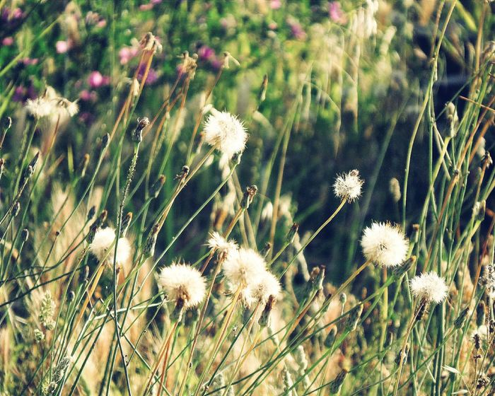 Light Nature Nature_collection Beauty In Nature Flower Head Flower Close-up Plant Dandelion Flora Wildflower Dandelion Seed Blossoming  In Bloom Vegetation Plant Life
