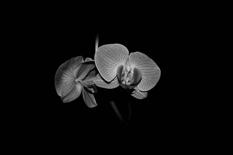 Fine Art Photography Beauty In Nature Black Background Blooming Bw Close-up Day Fine Art Flower Flower Head Fragility Freshness Growth Nature No People Noir Petal Plant Studio Shot Wall Frame Wall Picture
