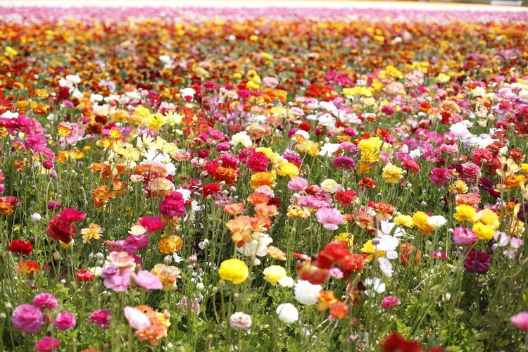 Flowering Plant Flower Freshness Plant Growth Beauty In Nature Fragility Abundance Pink Color Nature Flowerbed Land Flower Head No People Day Inflorescence Vulnerability  Multi Colored Field Springtime