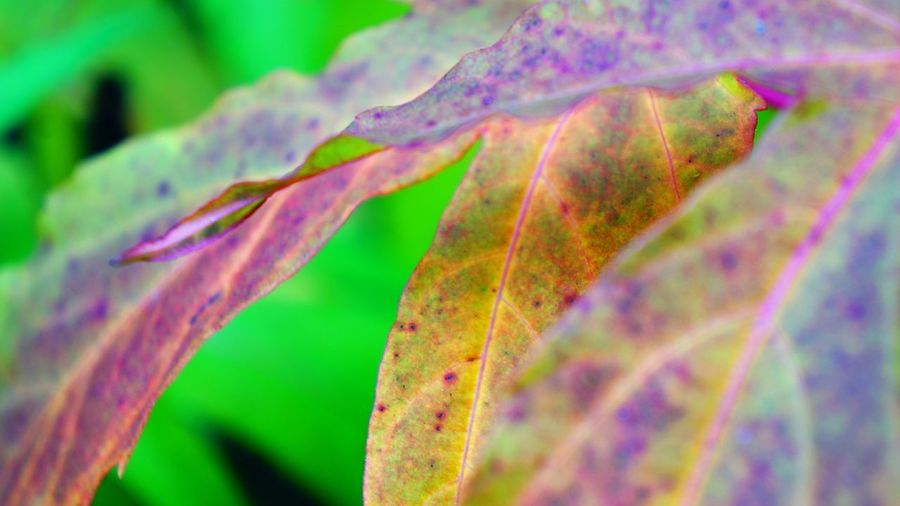 Autumn Leaves Changing Colors Plant Close-up Growth Plant Part Beauty In Nature Leaf Nature No People Flower Multi Colored Purple Freshness Vibrant Color Flowering Plant Macro Fragility Selective Focus Full Frame Vulnerability  Green Color Magnification Springtime Autumn Autumn colors Colorful