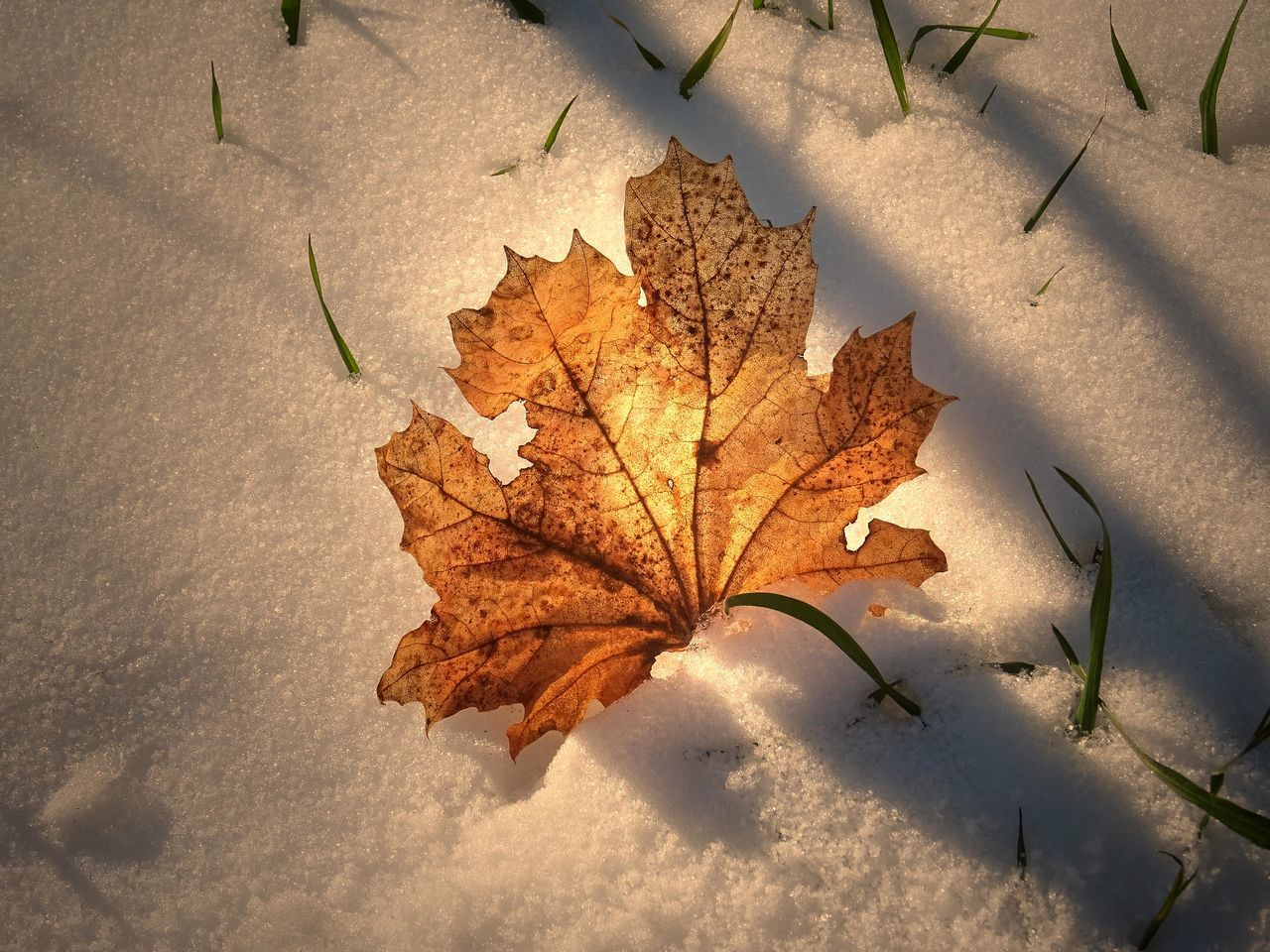 autumn, leaf, change, dry, nature, maple, high angle view, maple leaf, day, outdoors, no people, close-up, beauty in nature, fragility