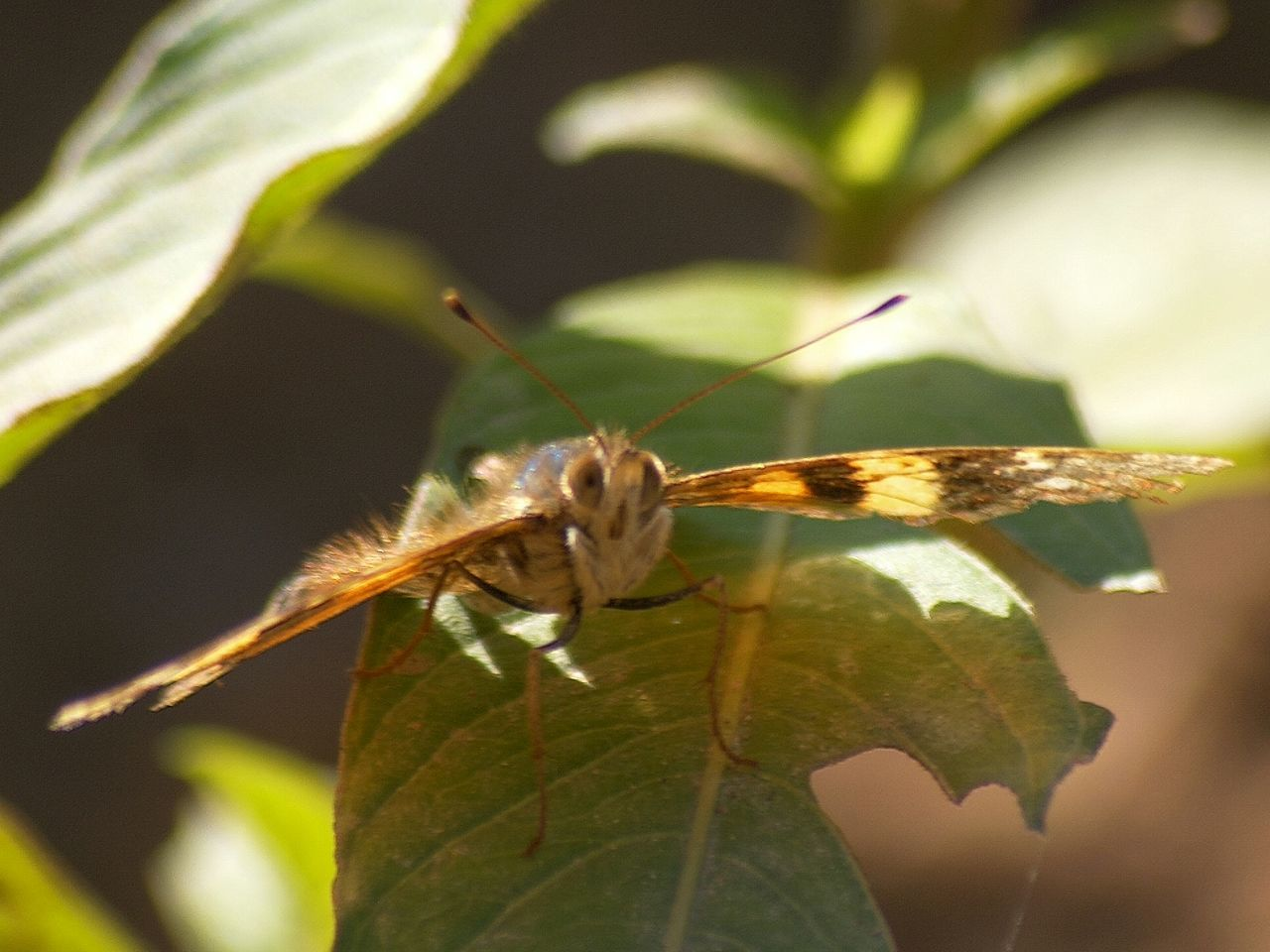 one animal, animal themes, animals in the wild, insect, leaf, close-up, animal wildlife, day, outdoors, no people, nature