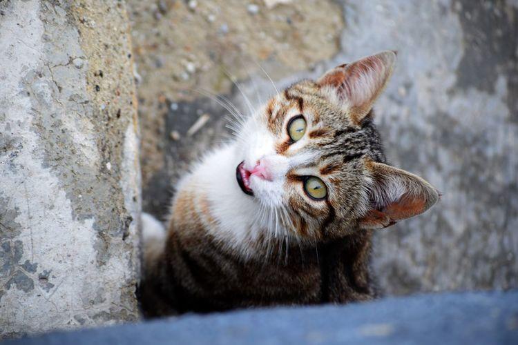 Close-up of cat meowing