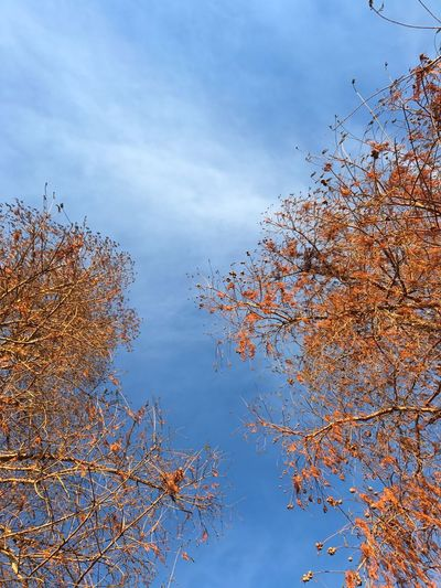 Tree Sky Plant Low Angle View Autumn Beauty In Nature Cloud - Sky No People Nature Change Blue Branch Outdoors Scenics - Nature Tranquility Tranquil Scene Leaf Day Growth Idyllic