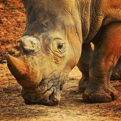 Rhino Zoo Africa Colchester zoo essex awayday photography photooftheday photoskills photochallenge instalike instazoo instamood like follow weather sunny sun nikon dslr lens d3100
