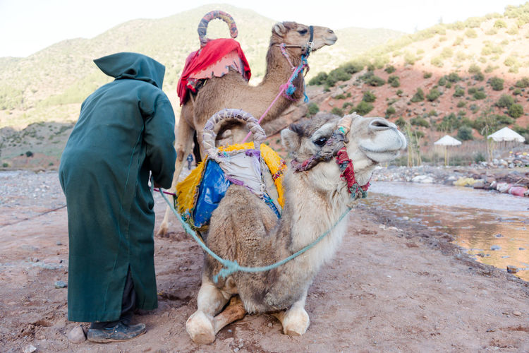 Berber man preparing camels for tourist ride Desert Done That. Free Time Fun Lifestyle Tradition Travel Activity Adult Authentic Be There Berber  Camel Ride Camels Cooperation Livestock Low Angle Man And Animal Nature One Man Only One Person Real People Slow Life Sunny Day Tour