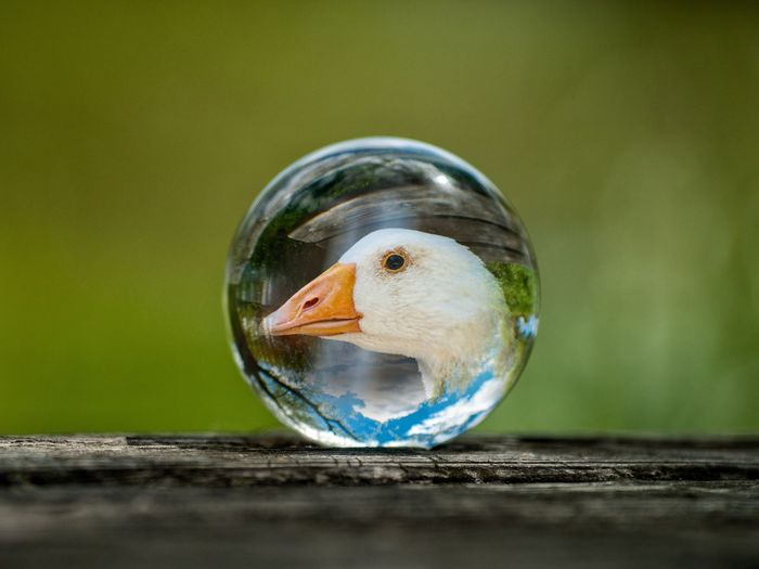 Creative Photography Creativity Crystal Ball EyeEm Best Shots EyeEmNewHere Form Reflection Sphere Animal Animal Themes Animal Wildlife Animals In The Wild Ball Bird Bubble Close-up Copy Space Crystal Crystalball Day Duck Ecology Environment Fishbowl Focus On Foreground Glass Glass - Material Globe Goose Lifestyles Nature No People One Animal Outdoors Planet Reflection Selective Focus Still Life Transparent Vertebrate White Goose Wildlife Wood - Material Visual Creativity