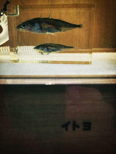 昔、茨戸川に親父と釣りに行った時にたくさんいたなぁ。
