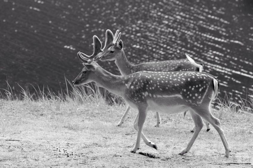 Two Male Deer Stag Monochrome Blackandwhite Instant Success Brotherhood Advice here's how you do it..no, you should have boosted contrast...