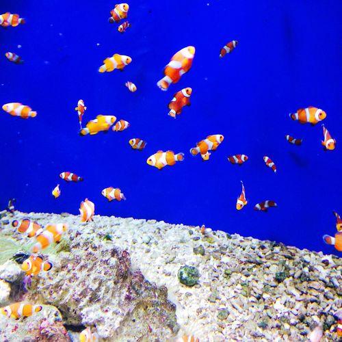 名古屋港水族館 Portofnagoyaaquarium Aquarium Fish Beauty In Nature Japan 5s 名古屋港水族館 カクレクマノミ Cute