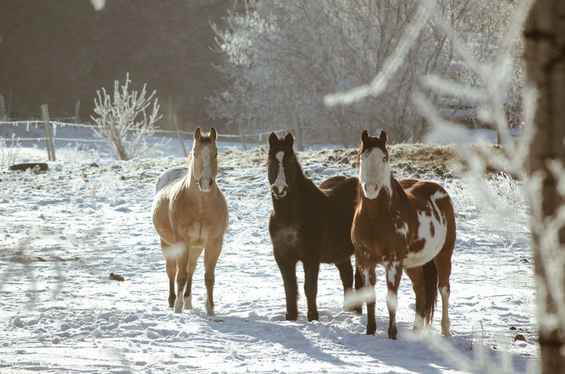 Horses standing on snow covered land