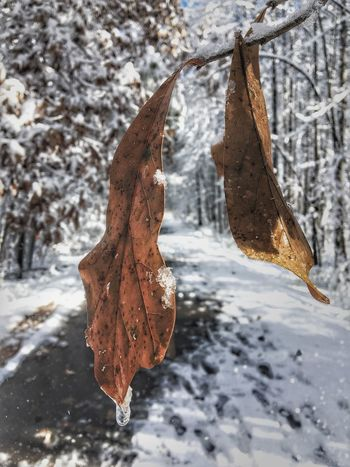 Four Time Winter Cold Temperature Leaf Snow Nature Weather Frozen Tree Hanging Focus On Foreground Water No People Autumn Day Outdoors Close-up Branch