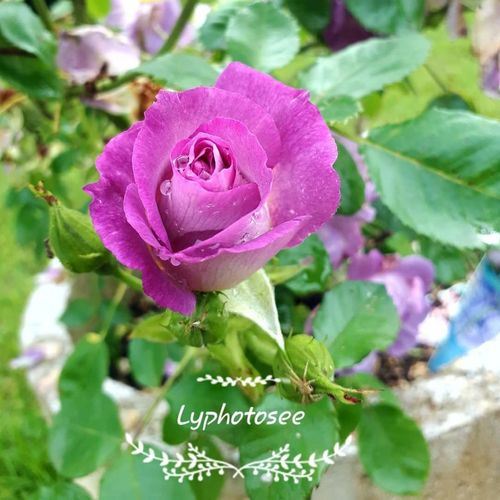 Instagood Lyphotosee Follow Flower Head Flower Peony  Leaf Petal Rose - Flower Pink Color Close-up Plant Blossom Cherry Blossom Focus Pistil Botany Wildflower First Eyeem Photo