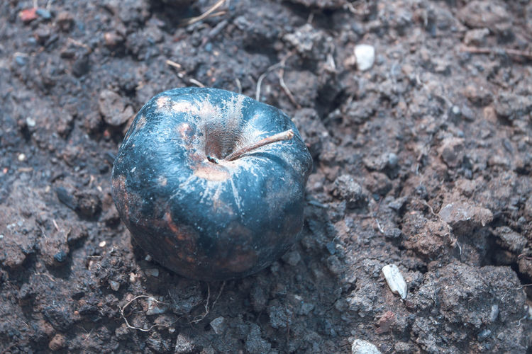 rotten apple lying on the ground Apple Fruit Rotten Ground Soil Nature Mould Food Background Fall Natural Round Uneatable Unhealthy Macro Organic Decay Seasonal Crop  Old Autumn Rot Object Disgust Bad Skin Damaged Spoiled Decompose Single Unhygienic Arid Brown Dead Wrinkled Dry Waste Desiccated Mold Inedible Infected Plant Closeup Garden Season  Unpleasant Agriculture Rotting Stem Aging
