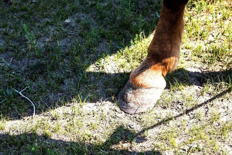 Horse shoe Foot Part Of Horse Photography  Horse Shadow Sunlight Nature High Angle View Day Grass Outdoors