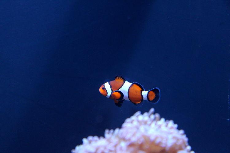 Orange Animal Wildlife Animals In The Wild Blue Close-up Clown Fish Coral Fish Nature No People Sea Sea Life Swimming UnderSea Underwater Water White