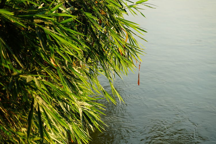 Riverside Riverbank Bamboo - Plant Bamboo Tree... Bamboo Leaf No People No Person Day Water Water Lake Tree Sky Grass Reed Waterfront