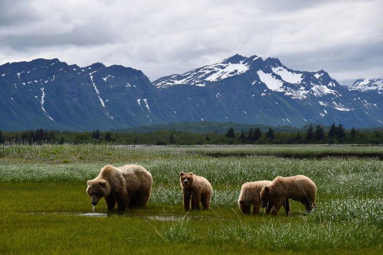 Grizzly bears at katmai national park