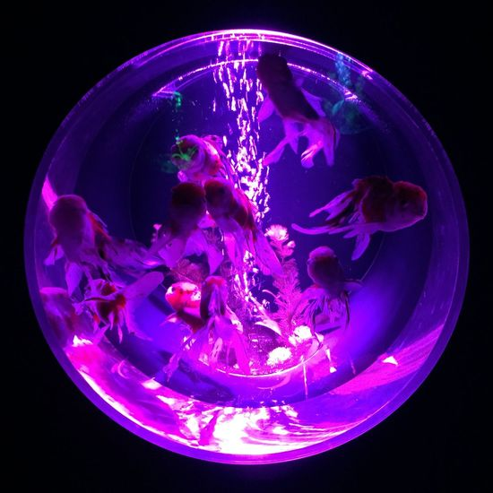 Art Aquarium Goldfish Nihonbashi