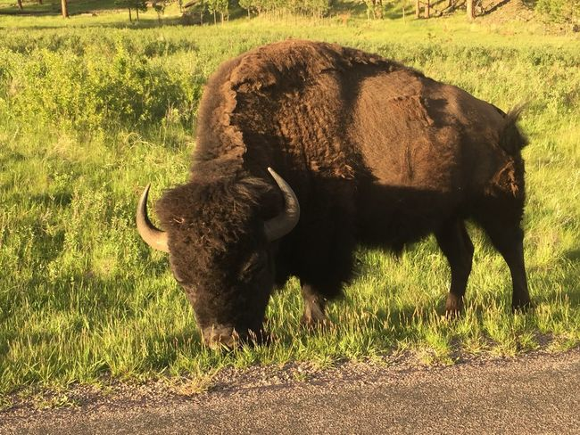 Grass American Bison Grazing Herbivorous Domestic Cattle