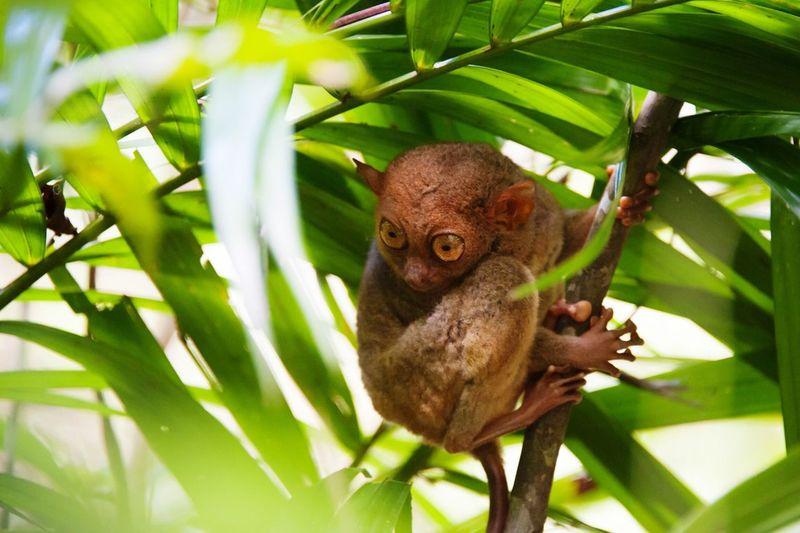 Close-Up Of Tarsier Hanging On Tree