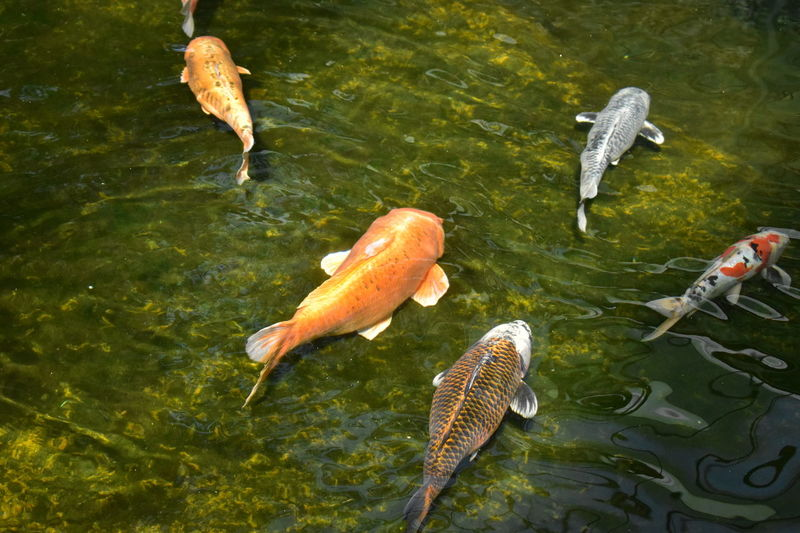 Fish High Angle View Water No People Carp Outdoors Lake Day Animals In The Wild Swimming Animal Themes Sea Life Nature Carp Fish