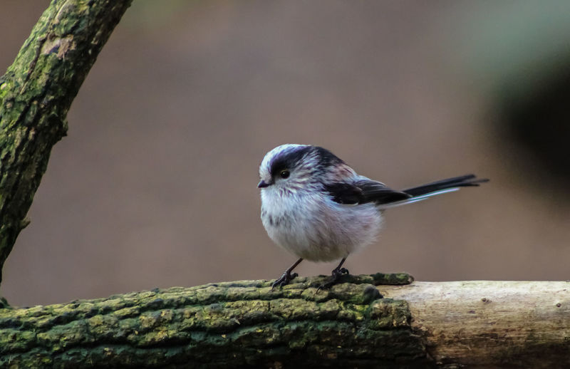Animal Themes Animal Wildlife Animals In The Wild Bird Branch Close-up Day Focus On Foreground Long Tailed British Bird Nature No People One Animal Outdoors Perching Songbird  Tree