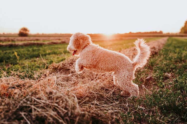 Full length of dog standing on field