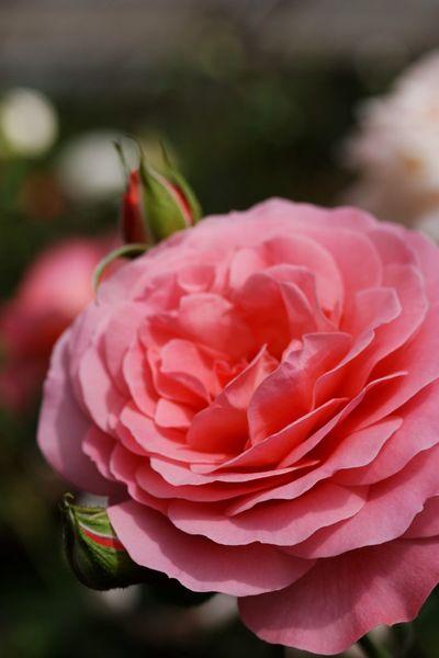 Rose♥ Macro Clique